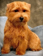Serious Norfolk Terrier dog