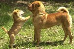 Shar Pei dog and a puppy