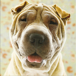 Shar Pei dog face