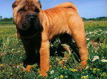 Shar Pei dog in the field