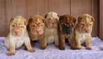 Shar Pei dog puppies