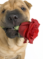 Shar Pei dog with cute rose