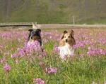 Shetland Sheepdog dogs in flowers