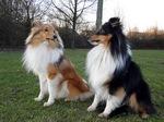 Shetland Sheepdog dogs