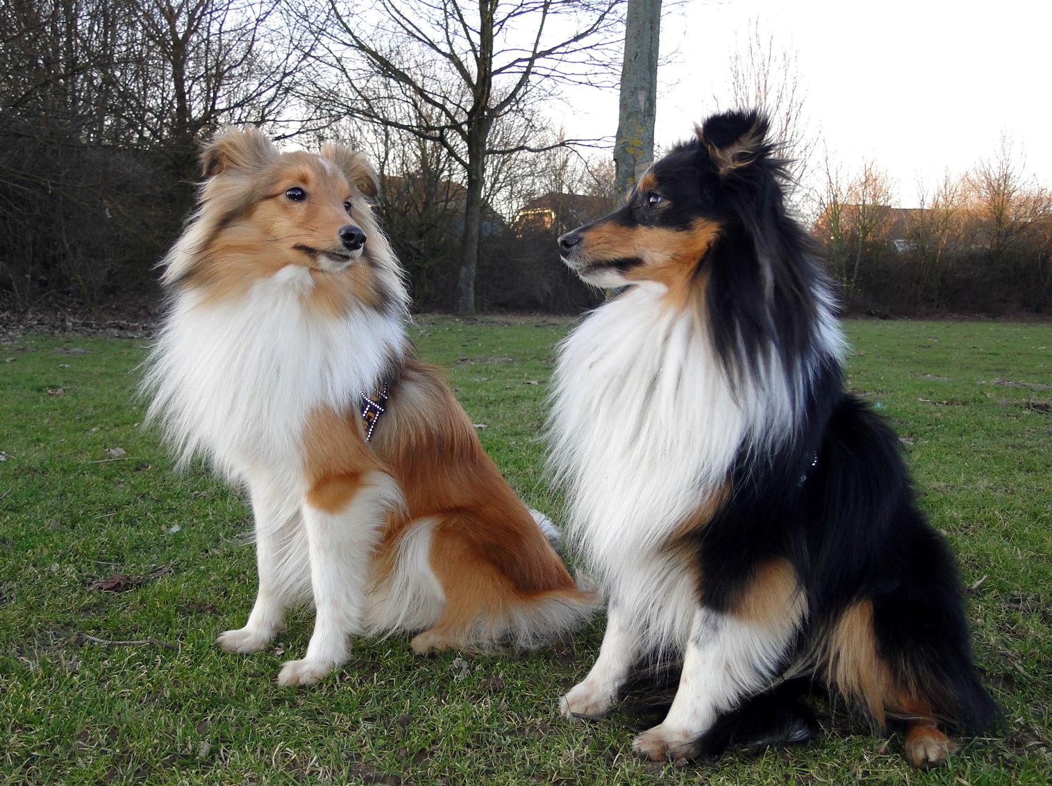 Собаки шелти фото