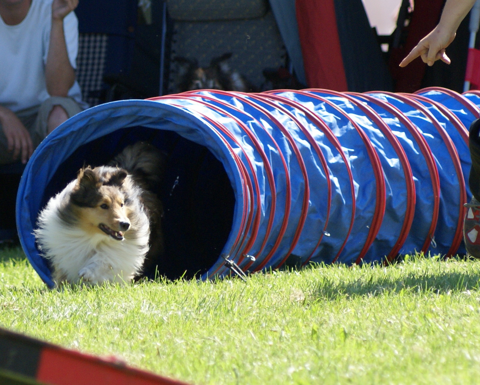 Shetland Sheepdog in the competition wallpaper