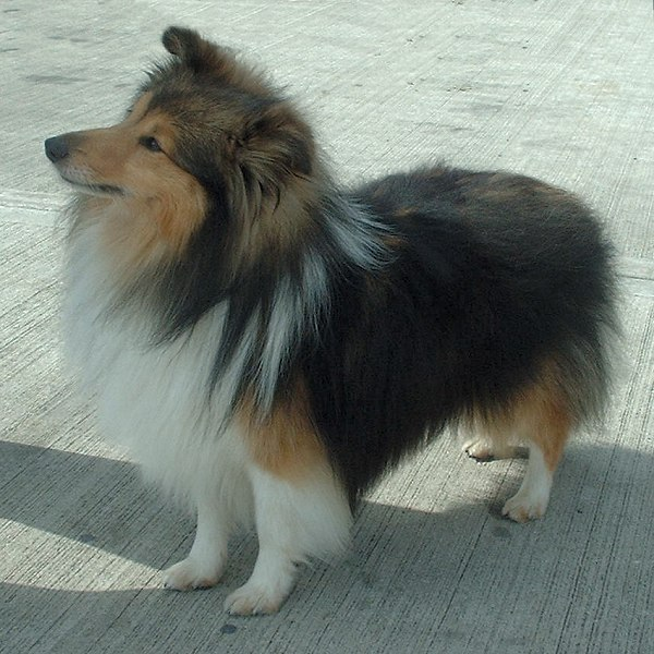 Shetland Sheepdog wallpaper
