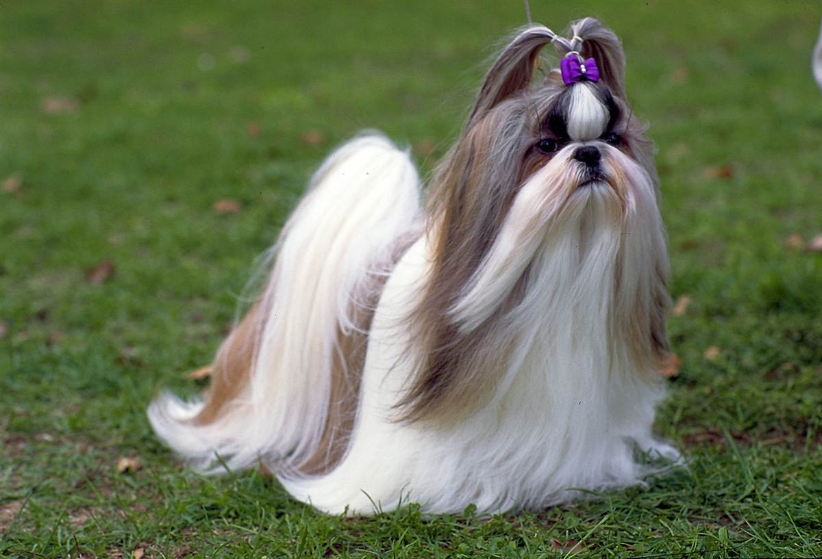 Shih Tzu dog girl photo and wallpaper. Beautiful Shih Tzu dog girl