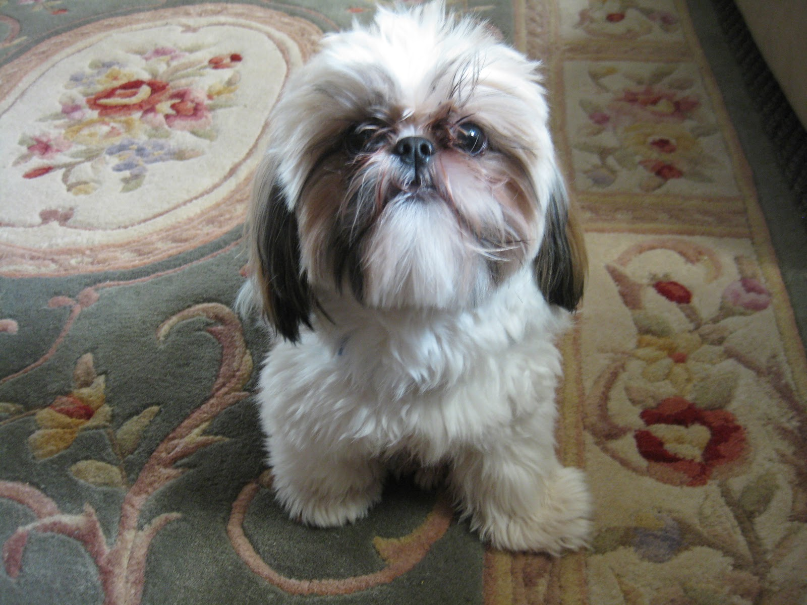 Add photos Shih Tzu dog on the carpet in your blog:
