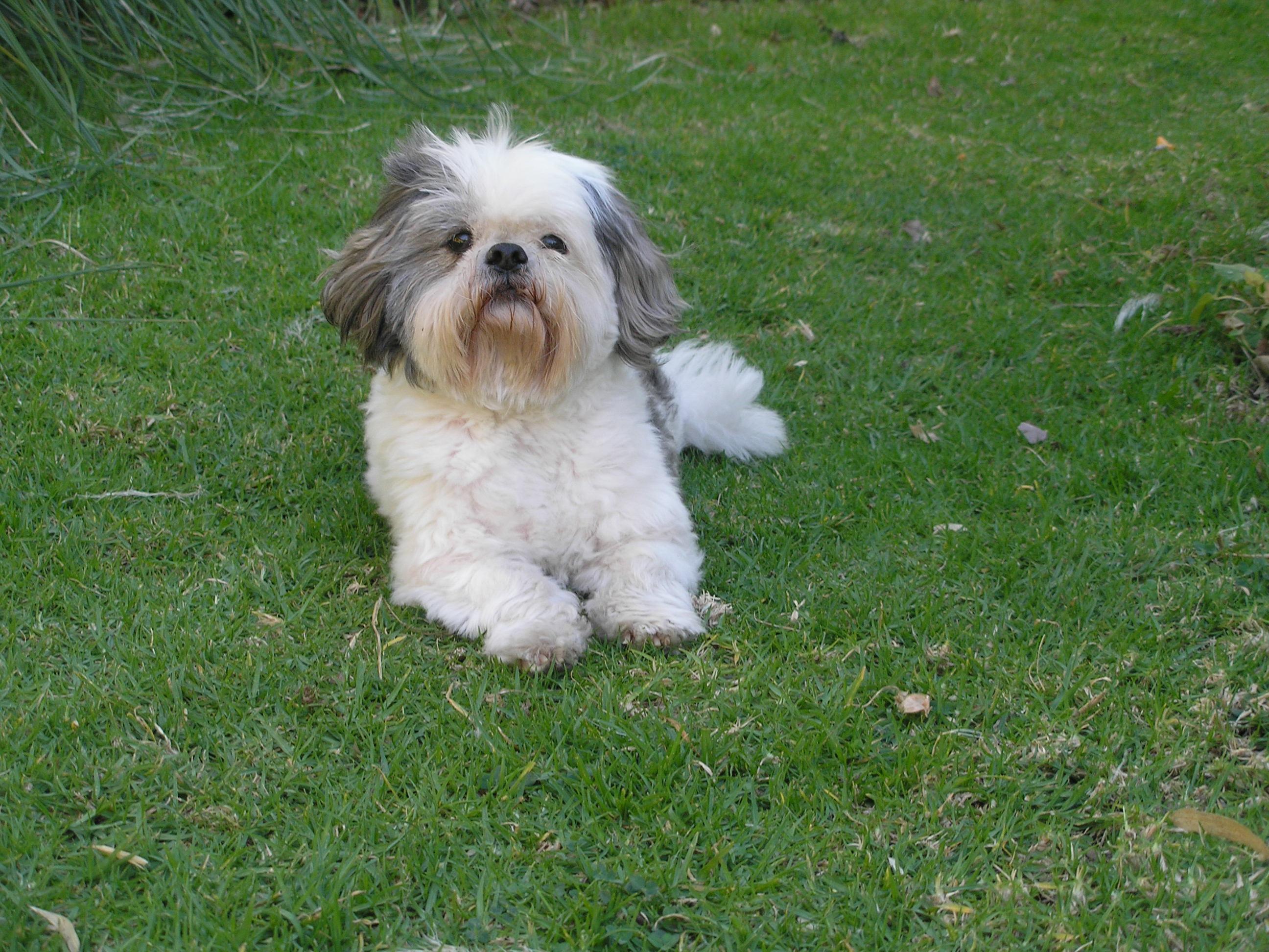 Собака ши-тцу на траве фото