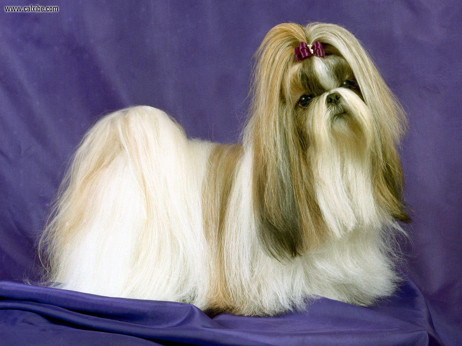 Shih Tzu dog portrait wallpaper