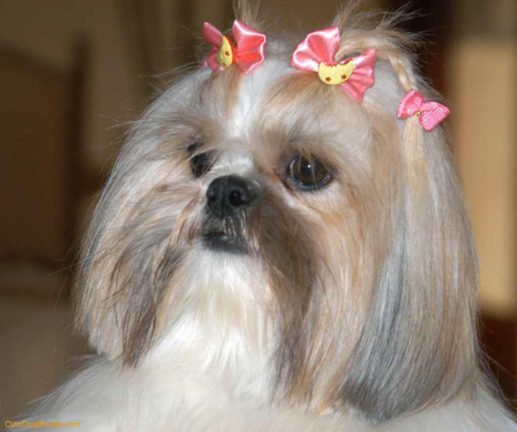Shih Tzu dog wallpaper
