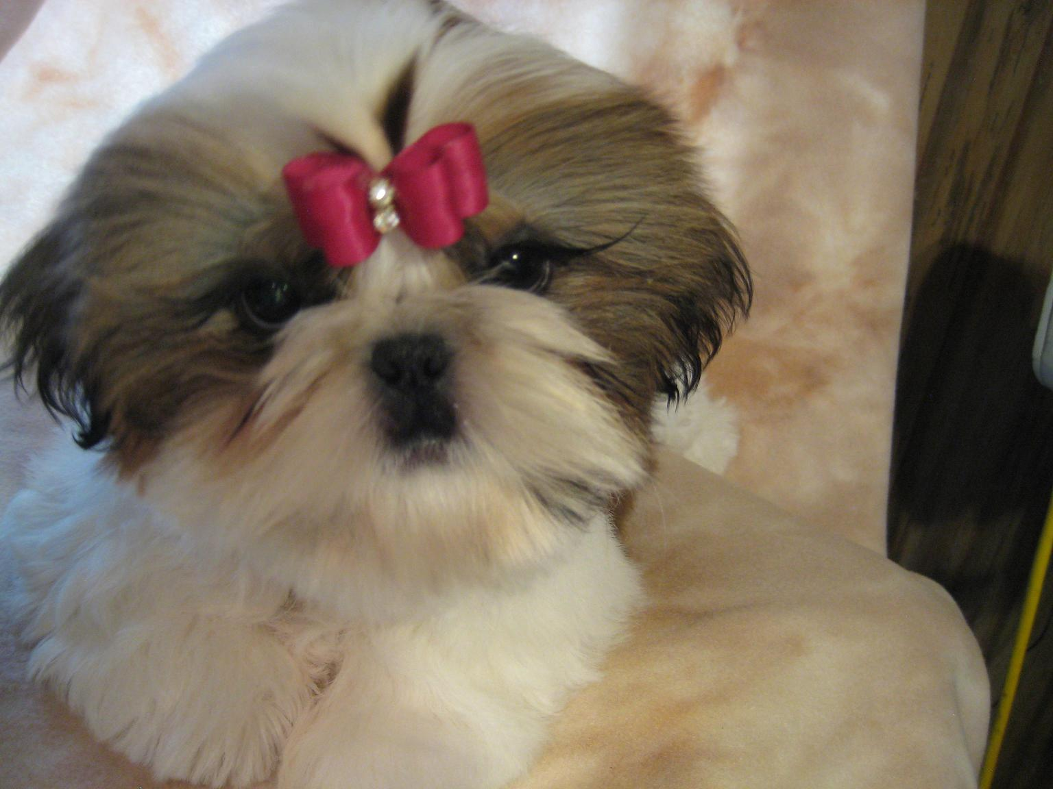 Shih Tzu dog with a red bow wallpaper