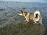 Shikoku dog in the sea