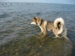 Собаки Шикоку в море