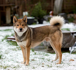 Shikoku dog in the snow