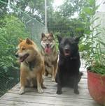 Shikoku dogs