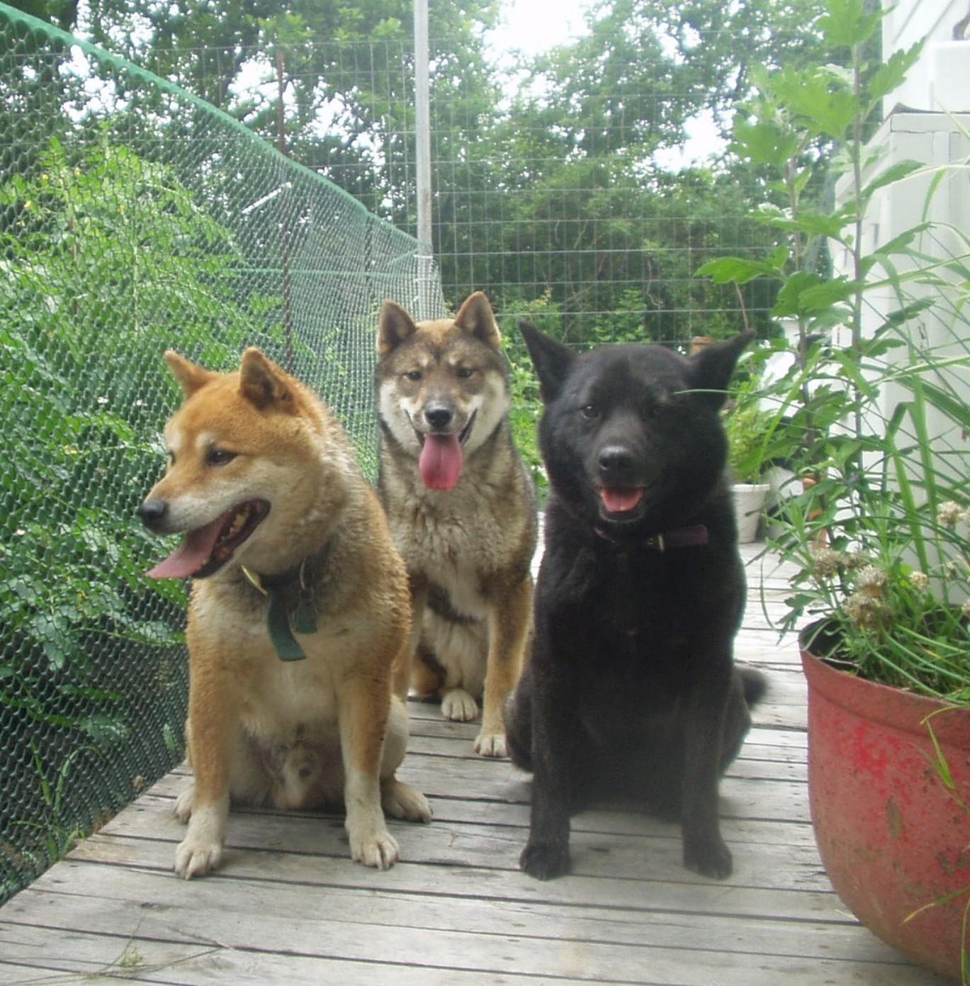 Shikoku dogs wallpaper