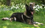 Shiloh Shepherd Dog in flowers