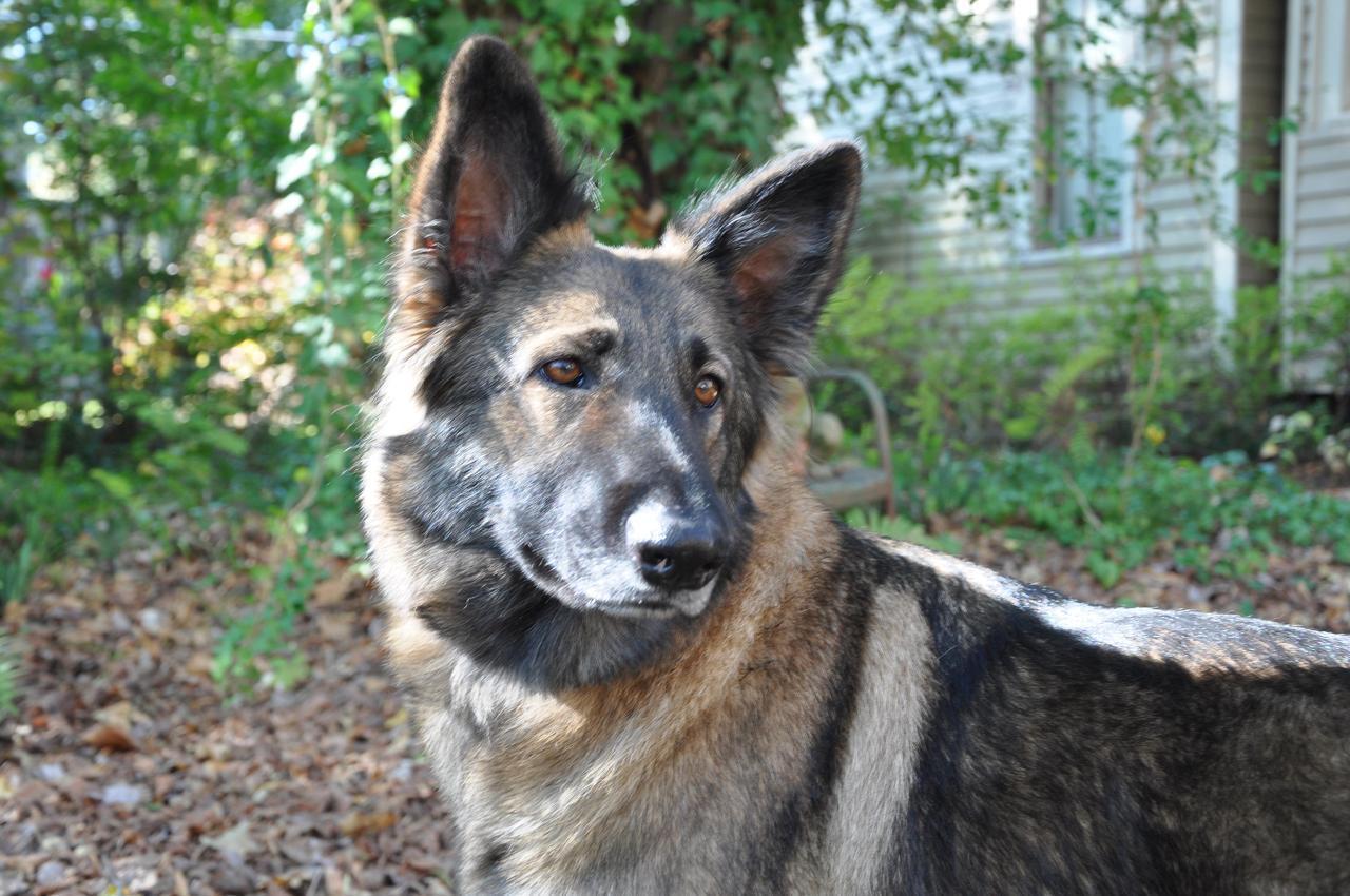 Shiloh Shepherd Dog in the forest wallpaper
