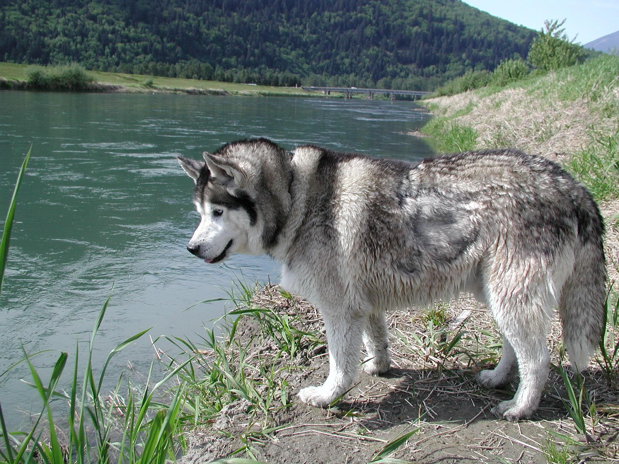 Сибирский хаски в банке фото