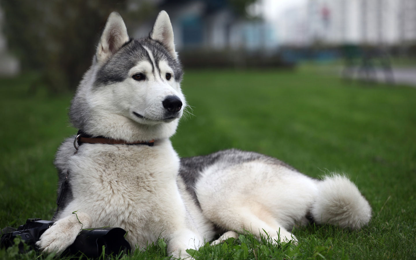 Siberian Husky dog on the grass wallpaper