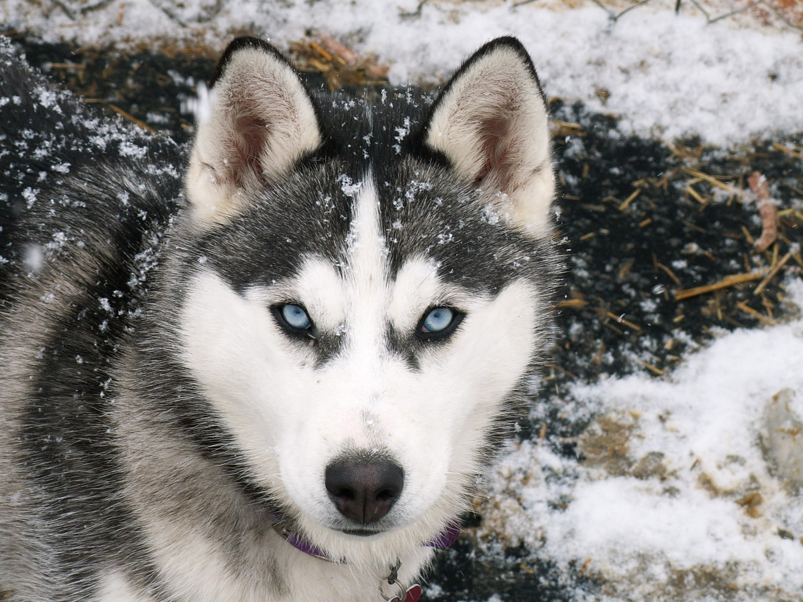 Add photos siberian husky dog in your blog