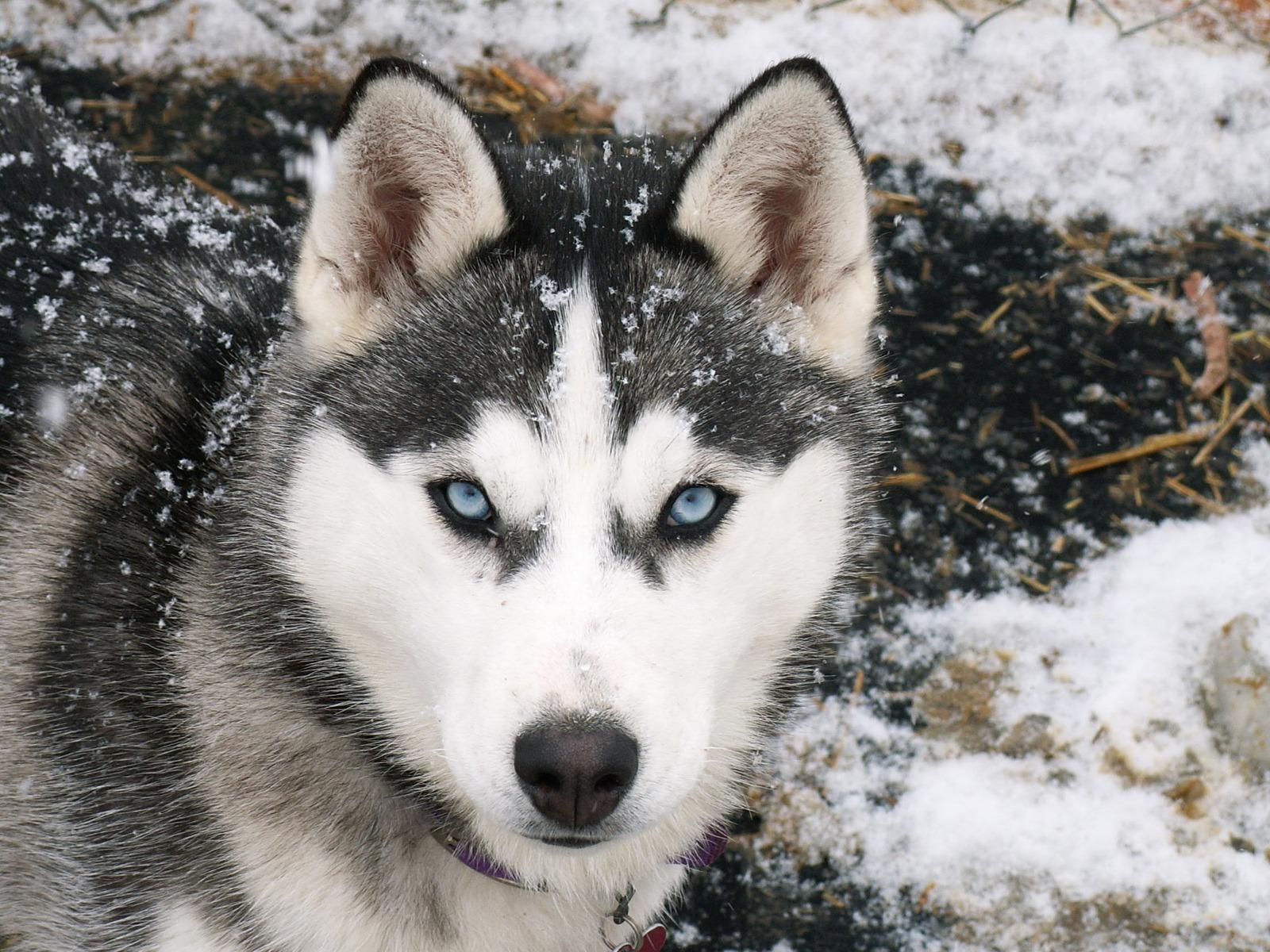 Siberian Husky dog wallpaper