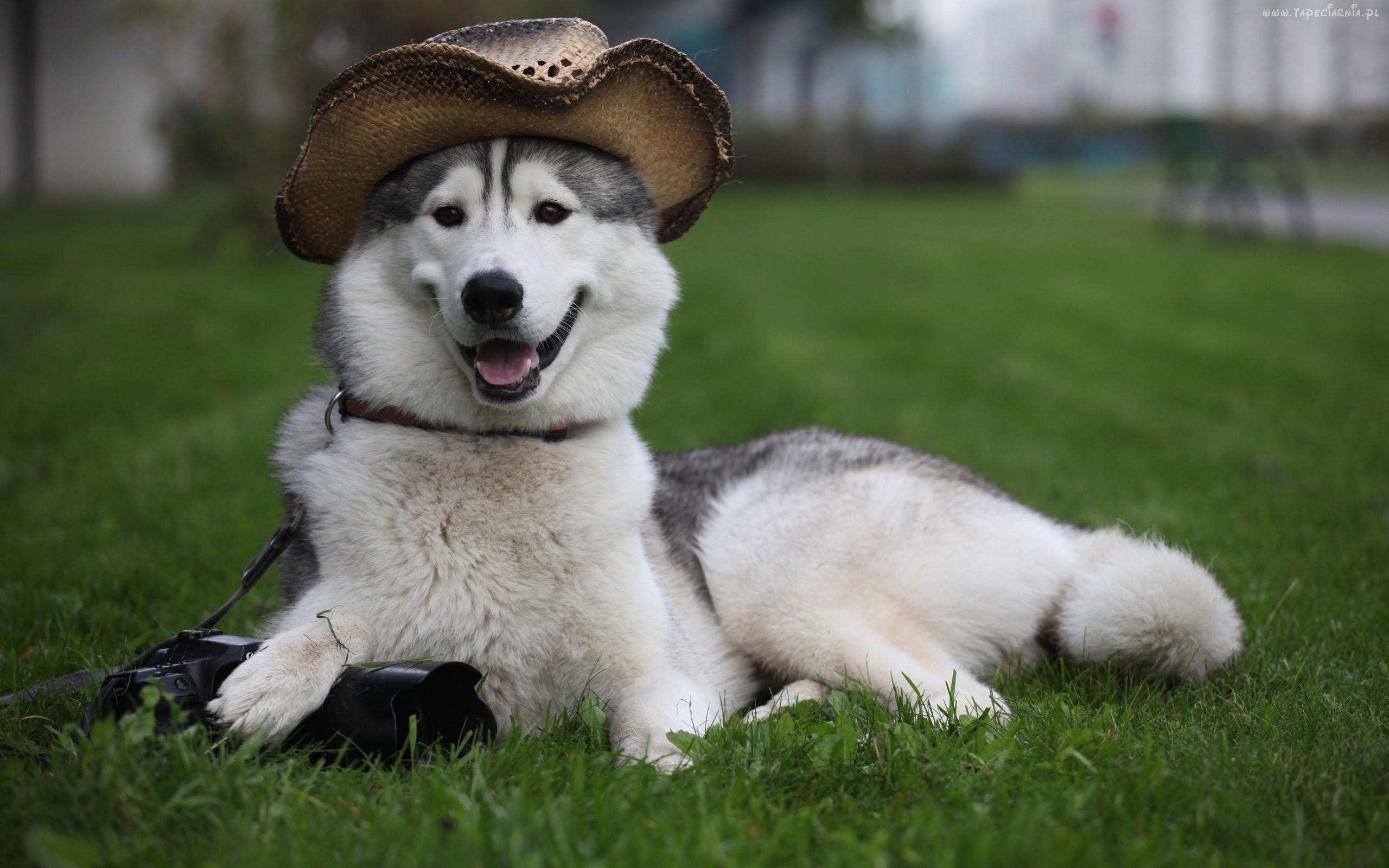 Сибирский хаски-фотограф фото