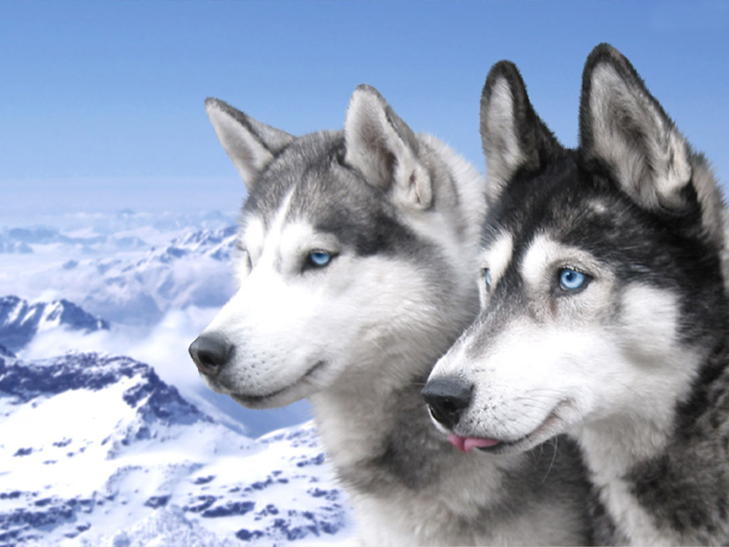 Siberian Husky dogs in the mountains photo and wallpaper. Beautiful