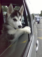 Siberian Husky puppy in the car