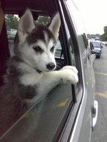 Щенок сибирского хаски в машине