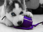Siberian Husky puppy with a ball