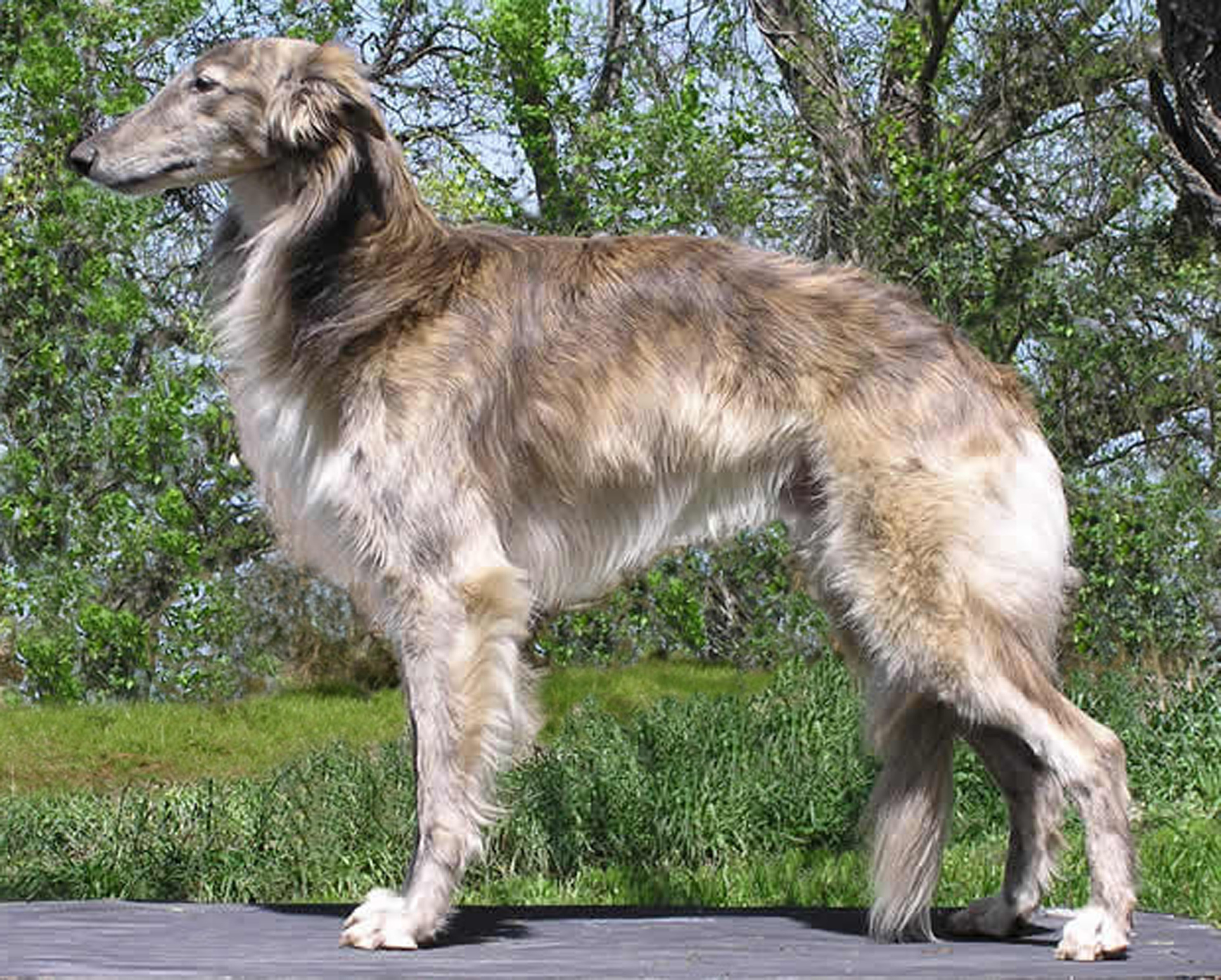 Silken Windhound wallpaper
