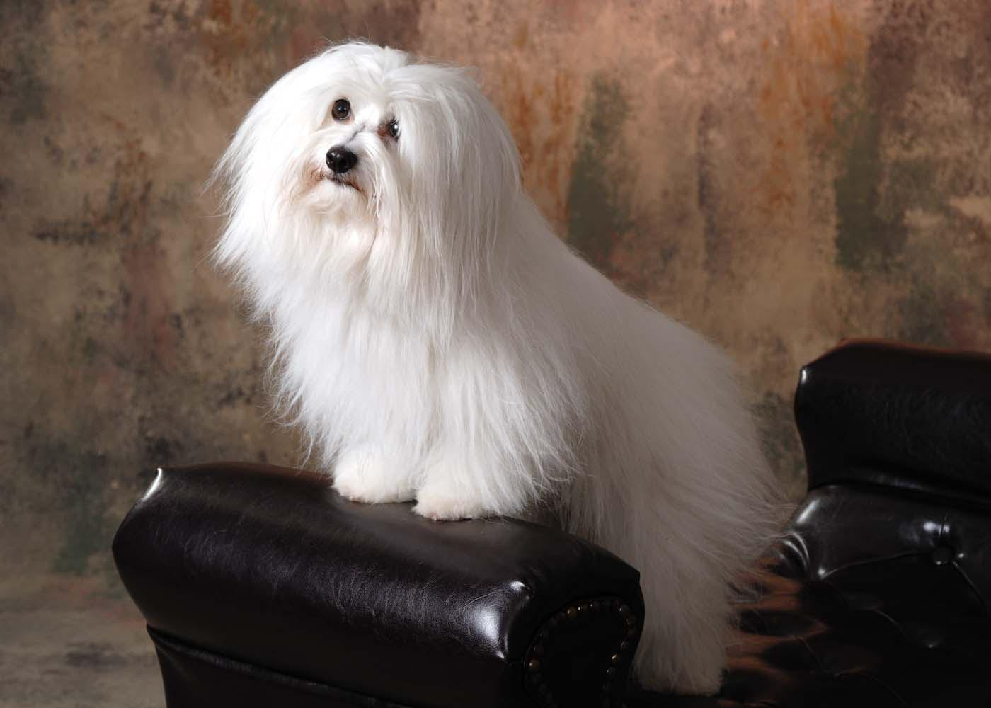 Sitting Coton de Tulear dog  wallpaper