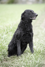 Sitting Curly Coated Retriever