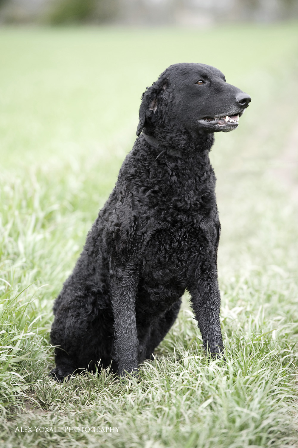 Sitting Curly Coated Retriever wallpaper
