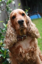 Sitting English Cocker Spaniel dog