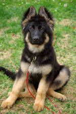 Sitting German Shepherd puppy