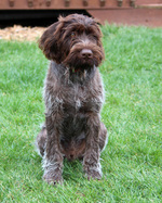 Sitting German Wirehaired Pointer dog