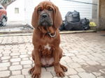 Sitting Korean Mastiff dog