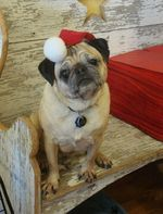 Sitting New Year's Day Pug