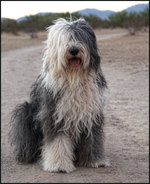 Sitting Old English Sheepdog