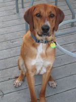 Sitting Redbone Coonhound dog