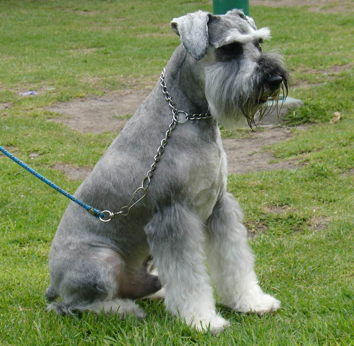 Sitting Schnauzer, Standard dog  wallpaper