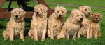 Six Dutch Smoushond dogs