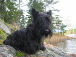 Skye Terrier dog by the water
