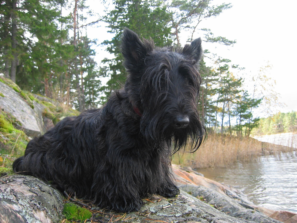 Skye Terrier dog by the water wallpaper