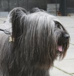 Skye Terrier dog face