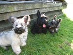 Skye Terrier dogs